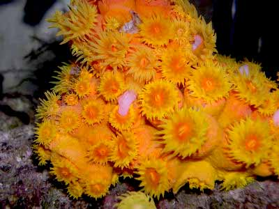 Orange Sun Coral, Tubastraea faulkneri, also known as the Orange Cup Coral, Sun Coral, and Orange Polyp Coral