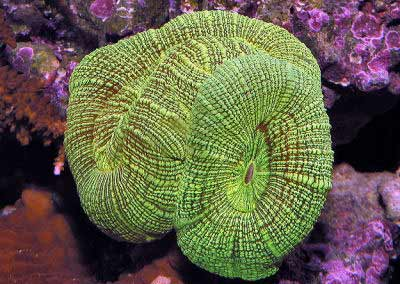 Pacific Rose Coral, Trachyphyllia radiata, also known as the Green Open Brain Coral, Dome Brain Coral, and Wellso Flat Brain Coral