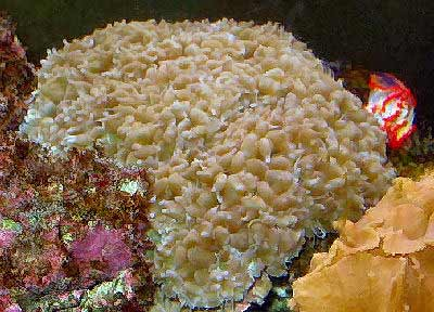 Pearl Bubble Coral, Octobubble Coral, Physogyra lichtensteini, also known as Pearl Coral and Small Bubble Coral