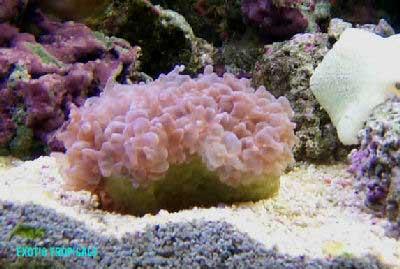 Pearl Coral, Pearl Bubble Coral, Octobubble Coral Plerogyra flexuosa