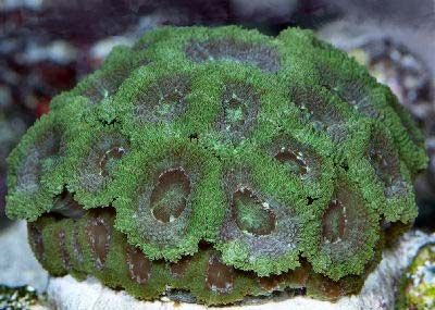 Micromussa Coral, Micromussa sp., also known as the Micro Coral, Pineapple Coral, Moon Coral, and Brain Coral