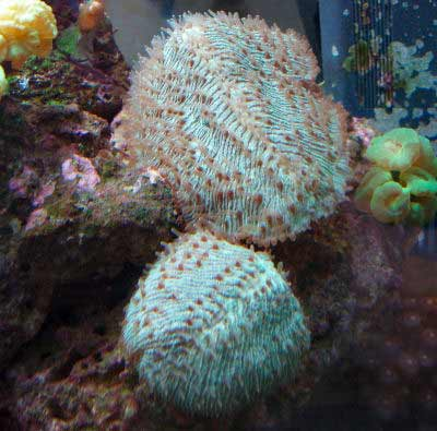 Tongue Coral, Herpolitha limax, also known as Slipper Coral, Mole Coral, and Hedgehog Coral
