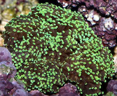 Torch Coral, Euphyllia glabrescens also known as Branch Coral, Branching Anchor Coral, and Pom-Pom Coral