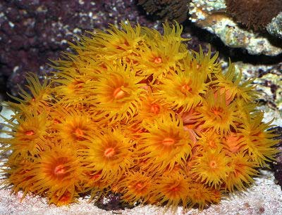 Yellow Sun Coral, Tubastraea aurea, also known as the Golden Cup Coral, Sun Coral, Sun Flower Coral, and Tube Coral