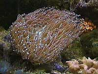 Picture of a Plate Coral