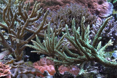 Picture of SPS Corals, featuring an Antler Coral Acropora microphthalma