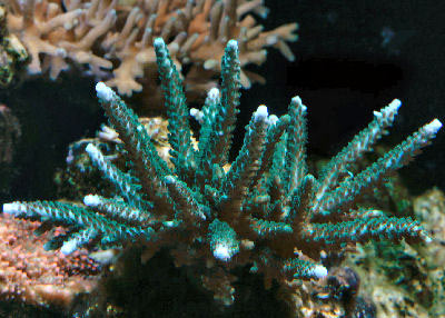 Acropora formosa the Staghorn Acropora or Staghorn Coral