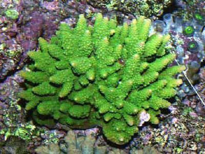 Picture of a Green Fiji Acropora, Acpropora bushyensis, also known as Bushy Acropora