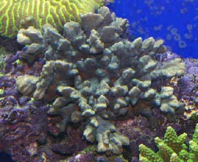 Picture of a Velvet Stone Coral, Montipora spongodes