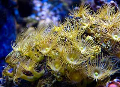 Colonial Yellow Polyps Parazoanthus axinellae, also known as Yellow Encrusting Sea Anemone and Yellow Polyps