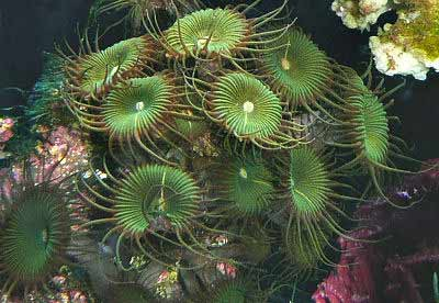 Picture of Green Button Polyp Protopalythoa mutuki, also known as Giant Palythoa, Colonial Anemones, and Button Polyps