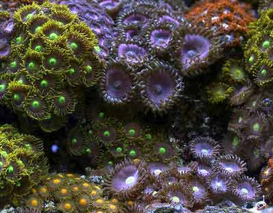 Button Polyps, Zoanthus spp. also known as Green Button Polyps, Sea Mat, Green Sea Mat or Zoas