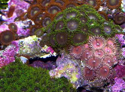 Picture of Button Polyps Zoanthus sp., also known as Colonial Anemones, Sea Mats, and Zoas