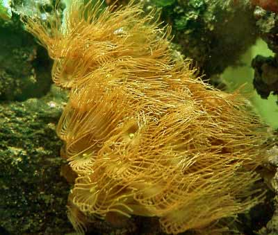 Picture of Yellow Polyps, also referred to as Parazoanthus gracilis, and colonial anemone