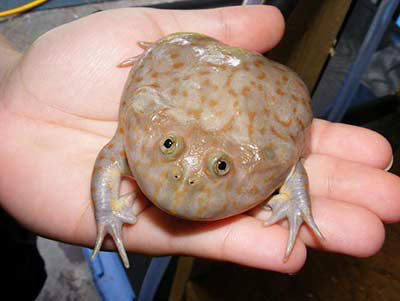 Budgetts Frog Lepidobatrachus laevis, also called Hippo Frog and Freddie Kruger Frog