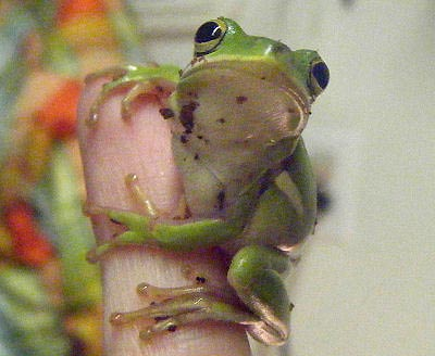 Green Tree Frog, Amphibian List of Species and Guides