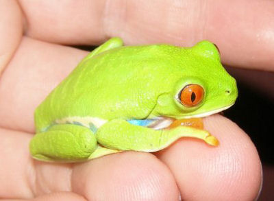 Red Eyed Tree Frog Agalychnis callidryas, also called Red Eyed Leap Frog