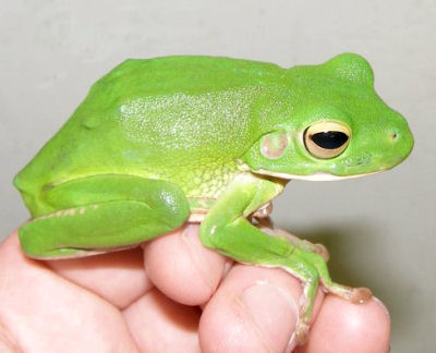 Picture of a White-Lipped Tree Frog