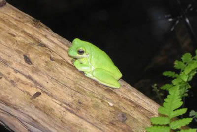 White's Tree Frog Picture