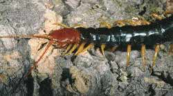 Giant Red-headed Centipede, Scolopendra h. castaneiceps
