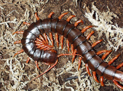 Vietnamese Centipede, Scolopendra subspinipes, Myriapod species guides with centipede and millipede facts and pictures
