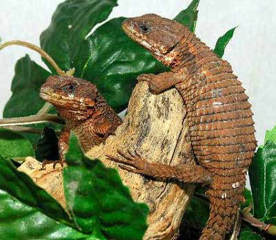 Angolan Girdled Lizard, Reptile Car,e Keeping Reptiles and Amphibians as Pets