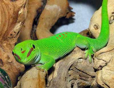 Giant Day Gecko, Guide to Lizard Selection, Care and Handling