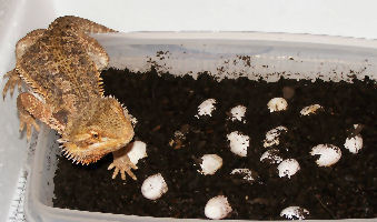 "Picture of Blood Flame Bearded Dragon - ""Camera"" and her eggs"