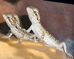 Picture of baby Bearded Dragons (normal color)