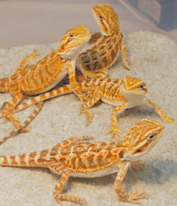 Picture of baby Bearded Dragons (color morph: - Red-gold x Sandfire)