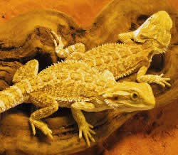 Bearded Dragon morphs, color form produced by crossing a Sandfire Bearded Dragon with a German Bearded Dragon