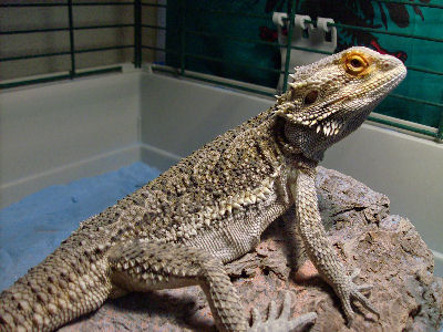 Bearded Dragon, Agamid lizard types with photos of Agamas