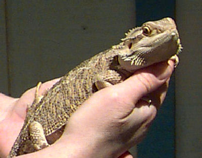 Bearded Dragons, also called Australian Bearded Dragon, Inland Bearded Dragon, and Central Bearded Dragon
