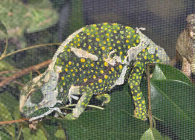 Graceful Chameleon, Chameleo gracilis (female)