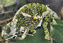 Animal-World info on Graceful Chameleon