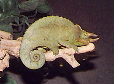 Jackson's Chameleon, Chameleo jacksonii(male), Three-horned Chameleon, subspecies Dwarf Jackson's Chameleon, and Yellow-crested Jackson's Chameleon