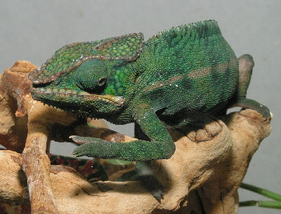 Picture of a Panther Chameleon, Furcifer pardalis