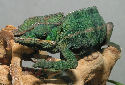 Animal-World info on Panther Chameleon