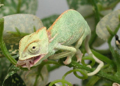 Veiled Chameleon, Chameleo calyptratus (juvenile) also called Cone-head Chameleon and Yemen Chameleon