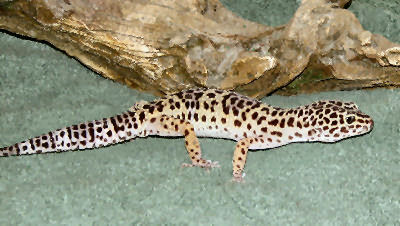 Picture of a Leopard Gecko