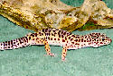 Animal-World's Featured Pet of the Week: The Leopard Gecko!
