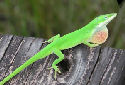 Animal-World info on Green Anole