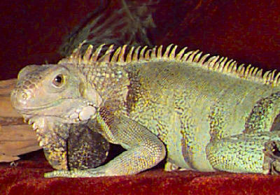 Green Iguana, Iguana iguana, also called Common Iguana and Giant Green Iguana