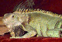 Animal-World info on Green Iguana