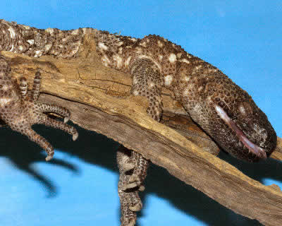 Beaded Lizard Heloderma Horridum Mexican Beaded Lizard