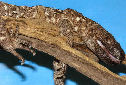 Animal-World info on Mexican Beaded Lizard