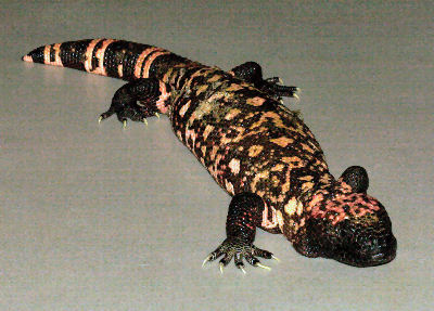 Gila Monster, Heloderma suspectum, subspecies Reticulated Gila Monster and Banded Gila Monster