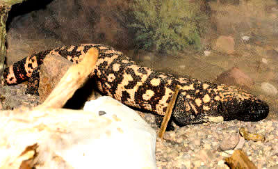 Venomous Lizards Gila Monster Mexican Beaded Lizard Helodermatidae