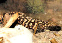 Click to learn about Venomous Lizards