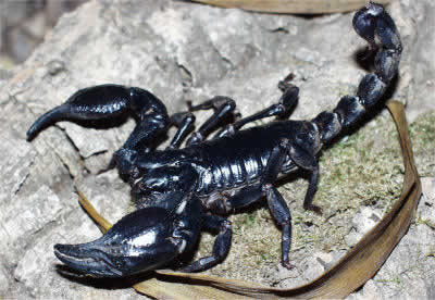 Malaysian Forest Scorpion, Heterometrus spinifer, black scorpion also called Giant Forest Scorpion, Asian Forest Scorpion, and Giant Blue Scorpion